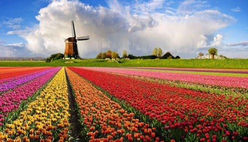 moinho-de-vento-e-tulipas-na-holanda1